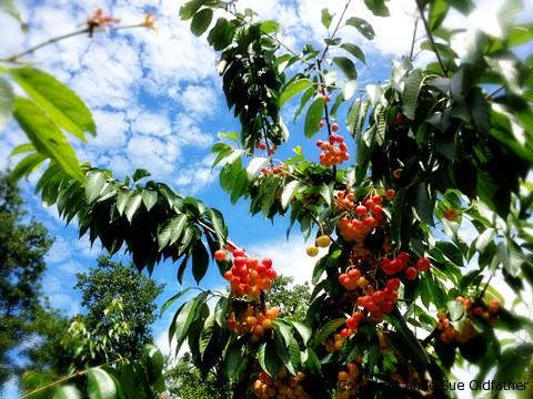 picking-cherries