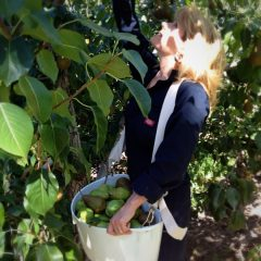 Amie-Sue-picking-pears-2012