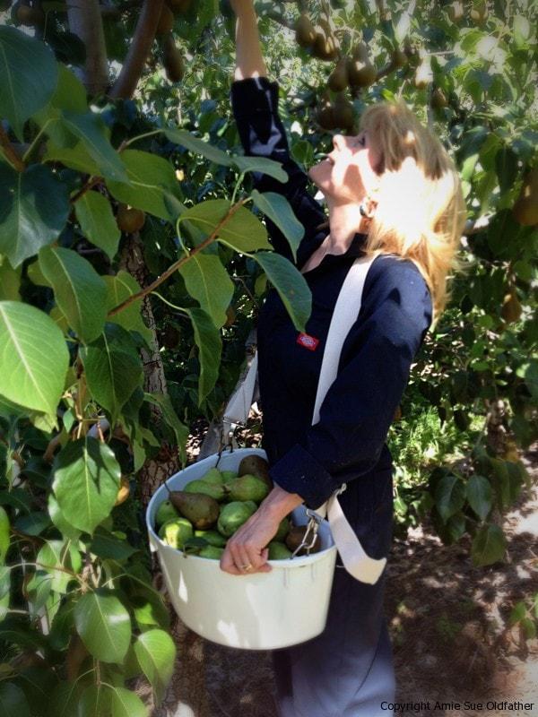 Amie-Sue-picking-pears-2012