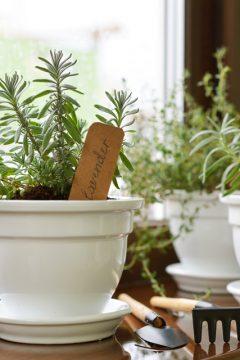 lavendar-pot
