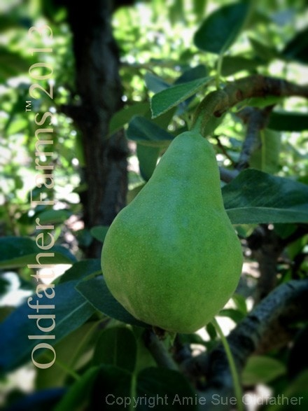 Oldfather-Farms-Pears-2013