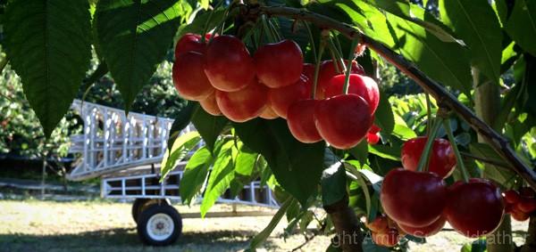 cherry-harvest-2013