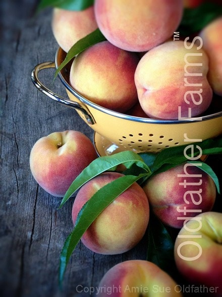 Oldfather-Farms-1st-peach-harvest-2013440