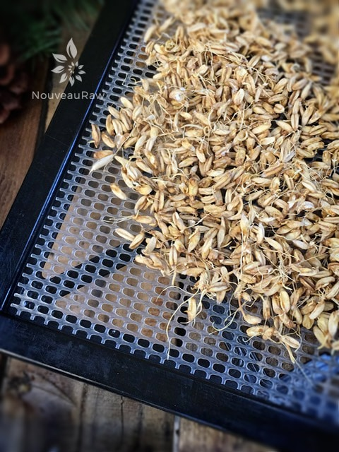 Soaked and Dehydrated Oats to make oat flour