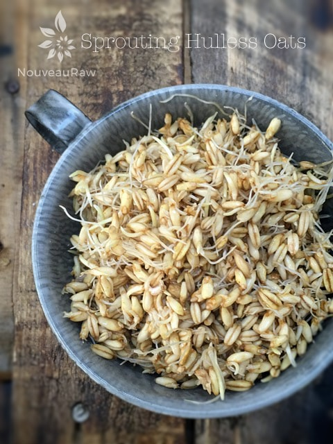 Sprouting Hulless Oats at Nouveau Raw
