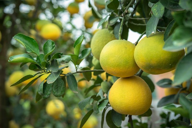 how to grow and cook raw vegan recipes with grapefruit