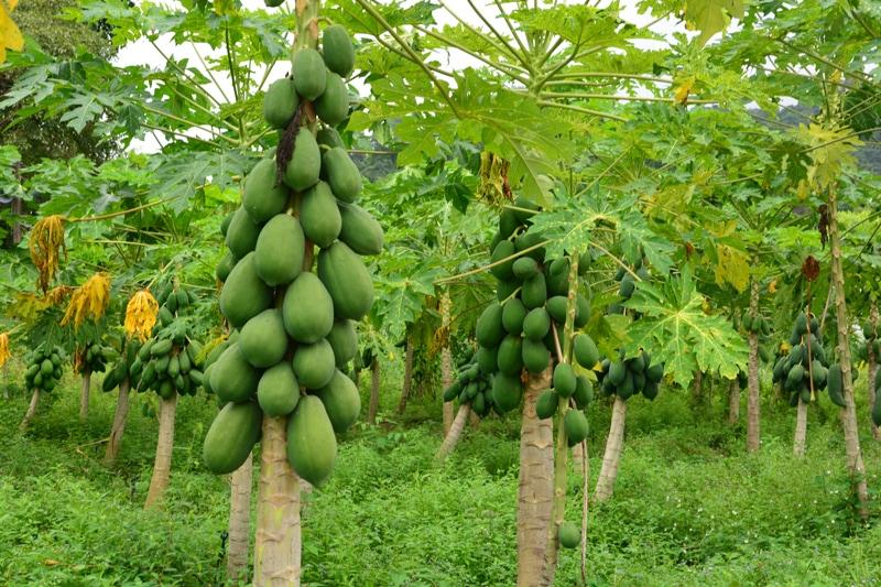 how to grow and cook raw vegan recipes with papaya