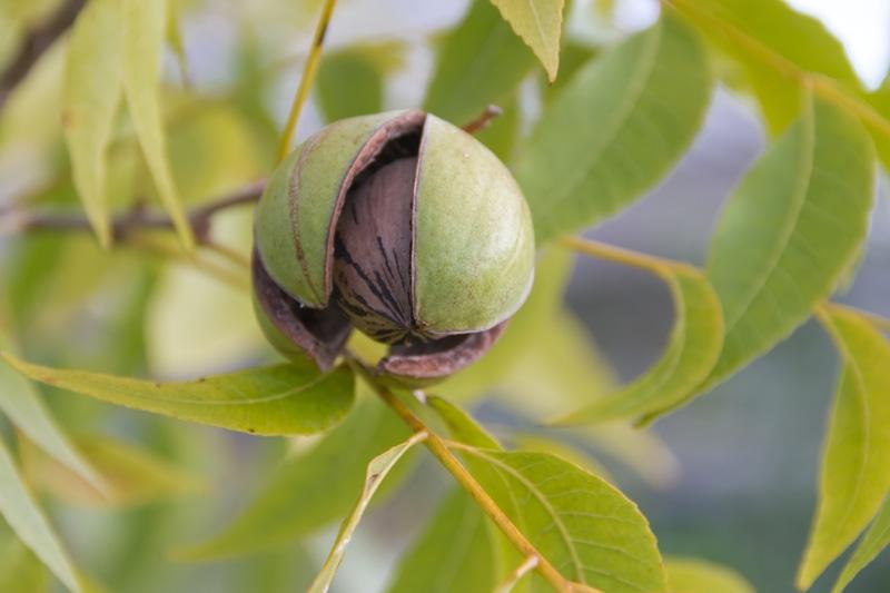 pecan-growing-in-a-tree