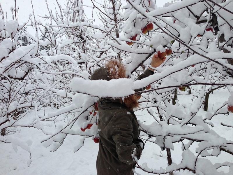 picking-apple-Christmas-2012