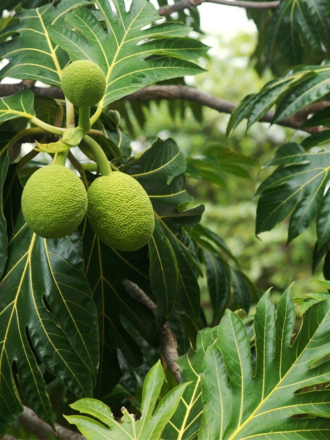 Raw Food Recipes. using and cooking with breadfruit