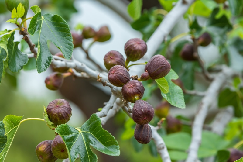 how to grow figs for raw vegan diets