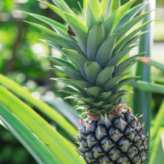 Raw Food Recipes. How to grow pineapple