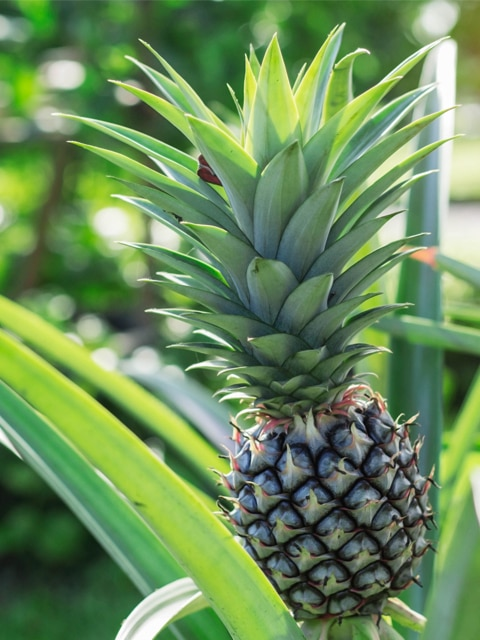 Raw Food Recipes. How to grow pineapple