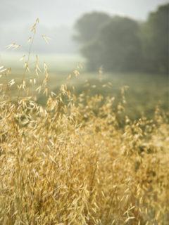 ripe oat field ready to harvest