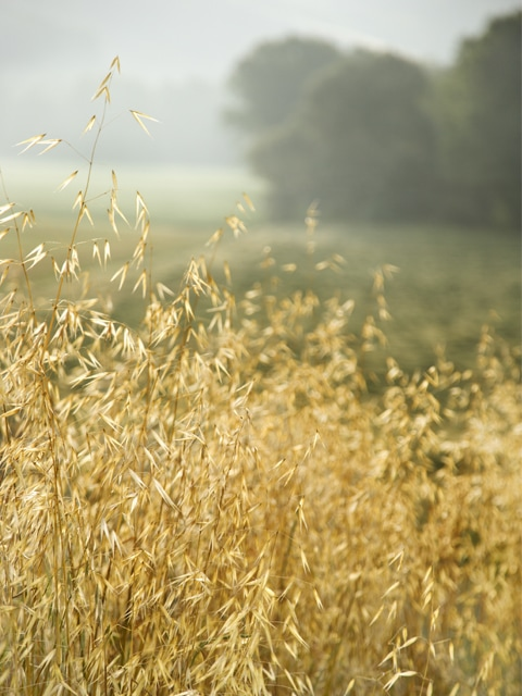 ripe oat field ready to harvest