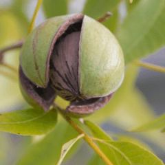raw food diet, how to grow pecans