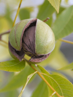 raw food diet, how to grow pecans