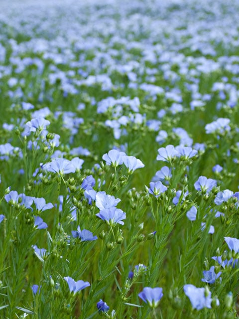 flax-seeds-growing