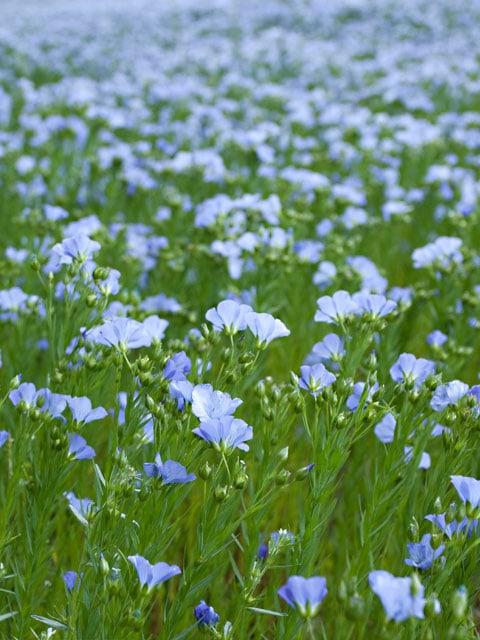 flax-seeds-growing
