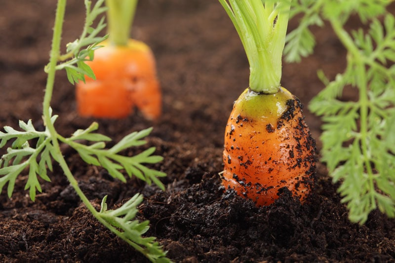 growing-carrots-in-dirt