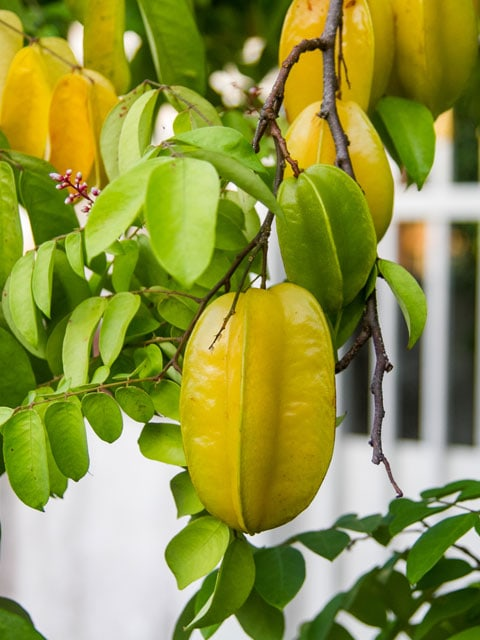 starfruit-hanging-on-a-tree