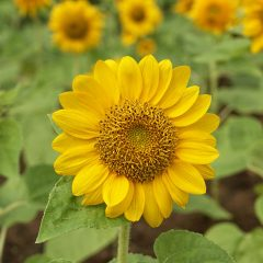 sunflower-plant---housing-seeds