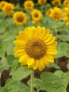 sunflower-plant---housing-seeds